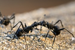 black ants Fighting, Macro