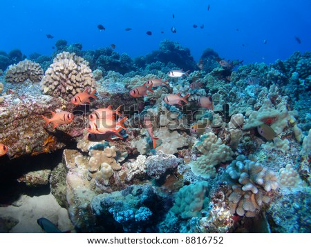 Black Bar Soldier Fish on a Hawaiian reef in Maui - stock photo