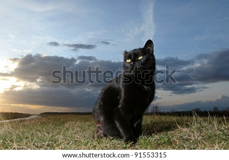 Black cat. Black cat on the meadow at sunset