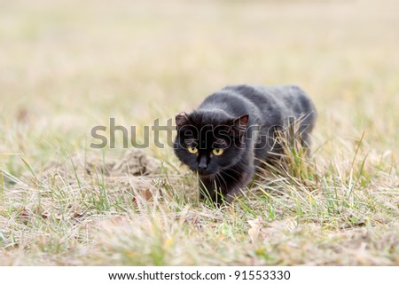 Black cat sneaking in the grass. One eared black cat on the meadow is sneaking for a pray
