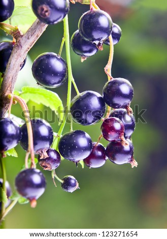 black currant, ripe berries on a branch.