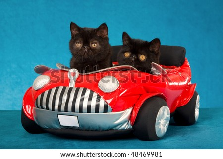 2 Black Exotic kittens in miniature red toy car