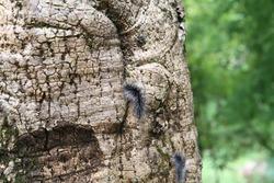 ฺBlack hairy catterpillar or Hairy worm on tree trunk in natural tropical forest