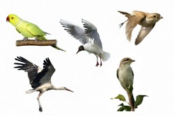 Black headed Gull ,Red backed Shrike, White Stork  in flight, and rose ringed parakeet isolated on white
