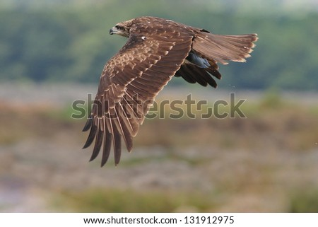 Black Kite hold Fish.