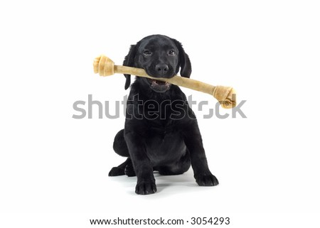 black labrador pup isolated on white with a big bone in his mouth