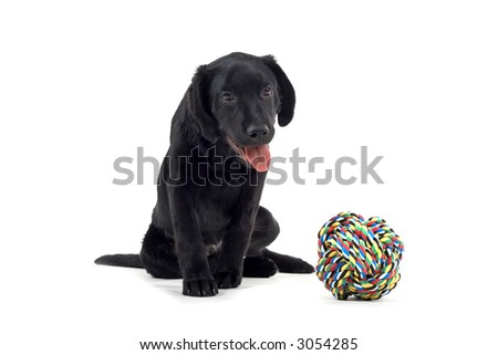 Black Labrador Sitting Black Labrador Pup Sitting