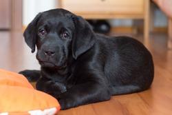 black Labrador puppy is lying on the floor on an orange Mat
