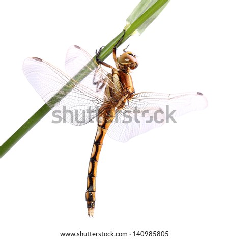 Black-tailed skimmer (Orthetrum cancellatum) isolated on white