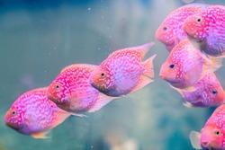 blood parrot , tropical fish, parrot fish