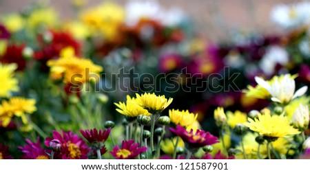 blooming chrysanthemum flowers