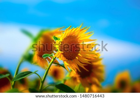 blooming yellow sunflowers on background blue sky, macro nature image, vibrant wild flowers in field at sunny day, colorful rural summer landscape #1480716443