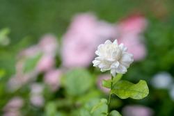 ฺBlossom jasminum sambac at garden.