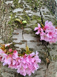 Blossoming sakura tree with pink fluffy flowers in March in London. Flowers on tree trunk. Bark. Tender petal. Macro
