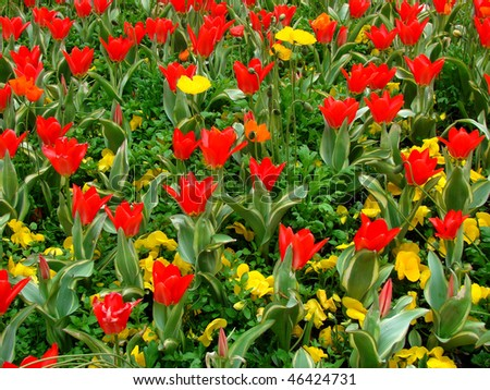 blossoming tulips and flowers