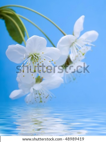 blossoming twig of cherry tree reflected in clear water surface close up