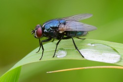 Blue bottle fly sitting motionless on a leaf of grass after rain. With two water drops, closeup. Genus species Calliphora vomitoria.
