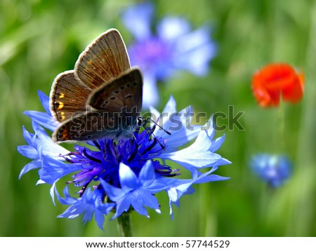 Blue cornflower with butterfly
