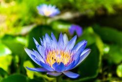 Blue lotus pond