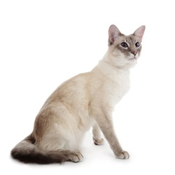 blue point siamese cat portrait on white studio isolated background
