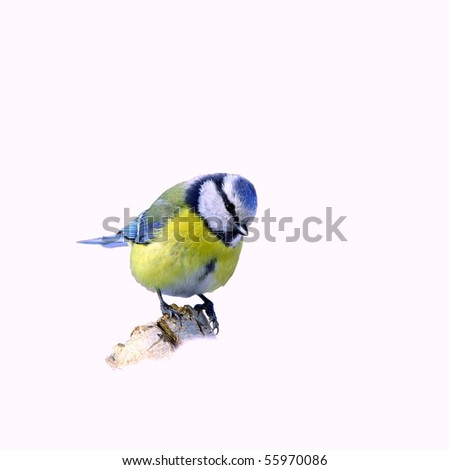 Blue tit on a broken trunk, isolated