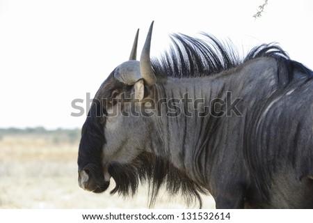Blue Wildebeest (Connochaetes taurinus) aka Brindled Gnu. Close up in the Kalahari Desert, Grootkolk, Kgalagadi transfrontier park, south africa.