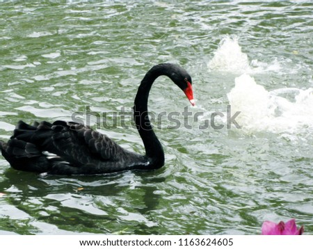Blurry picture of floating black goose on pond