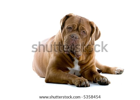 bordeaux dog, french mastiff laying down on the ground isolated on a white background #5358454