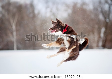 border collie dog jumping