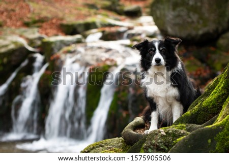 border collie in forest with waterfall in background Zdjęcia stock ©