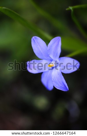 Bossier's glory-of-the-snow or Lucile's glory-of-the-snow, Scilla luciliae