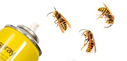 bottle Aerosol for the control of insects and three sides of wasps isolated on white background. European wasp German wasp or German yellow jacket (Vespula germanica) showing Back and Side views.