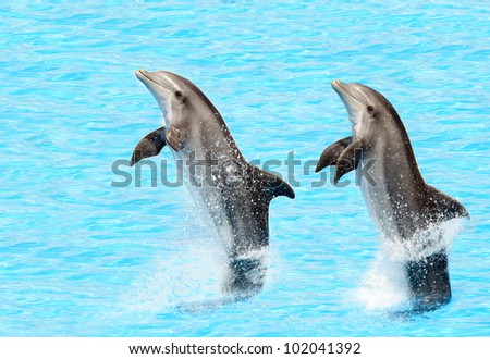 bottlenose dolphins ( Tursiops truncatus) performing a tail stand