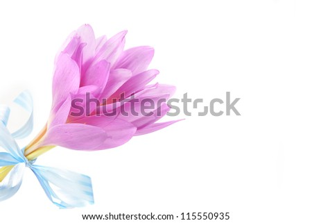 bouquet of  purple crocus flower. blossom time