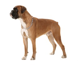 Boxer dog in perfect pose!