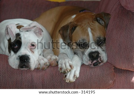 2 Boxer Dogs Resting on a chair.
