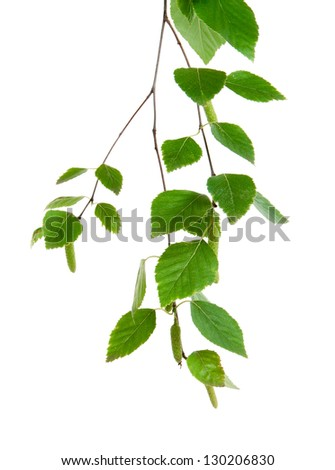 branch of birch on a white background