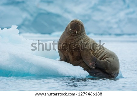 Brasvelbreen. Young Atlantic walrus (Odobenus rosmarus) resting on an ice floe.