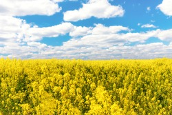 bright beautiful endless blooming field of yellow rape under a bright blue sky with small white clouds on a sunny spring day