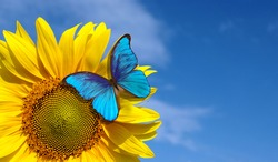 bright blue morpho butterfly sitting on a sunflower against a blue sky. butterfly on a flower. copy space