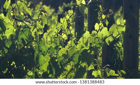 Bright, Contrasty composition of Grape Vines, later afternoon.