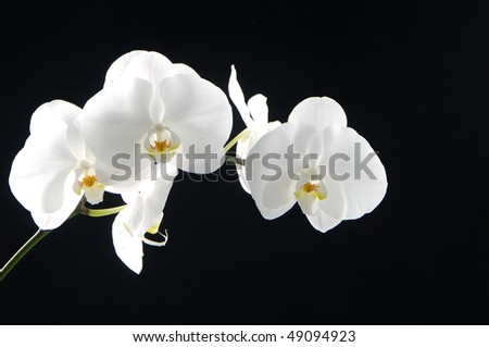 Bright white orchid(phalaenopsis) on black