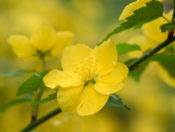 Bright yellow Japanese mountain rose
