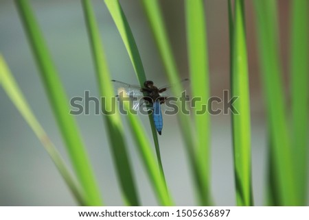 Broad-bodied chaser or broad-bodied darter