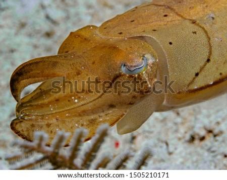 Broadclub Cuttlefish, Breitarm Sepia (Sepia latimanus)