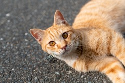 Brown cat lying on the road. Cute cat with big eyes