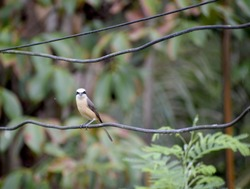 Brown-rumped Minivet birds on the wire