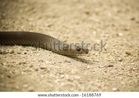 1Brown Snake slithering through the sand