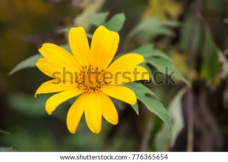 Buatong Is The Name Of Yellow Flower That Blossom In The Winter