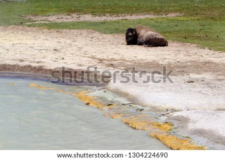Buffalo (Bison bison), Yellowstone National Park, Idaho, Montana and Wyoming, USA.